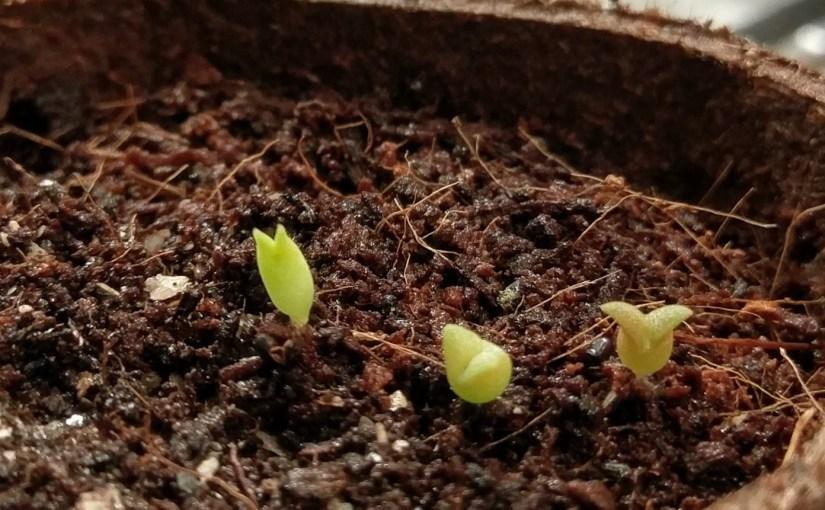 Baby Cacti!