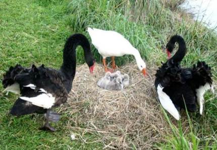 Henry the bisexual Swan and Thomas the blind bisexual goose
