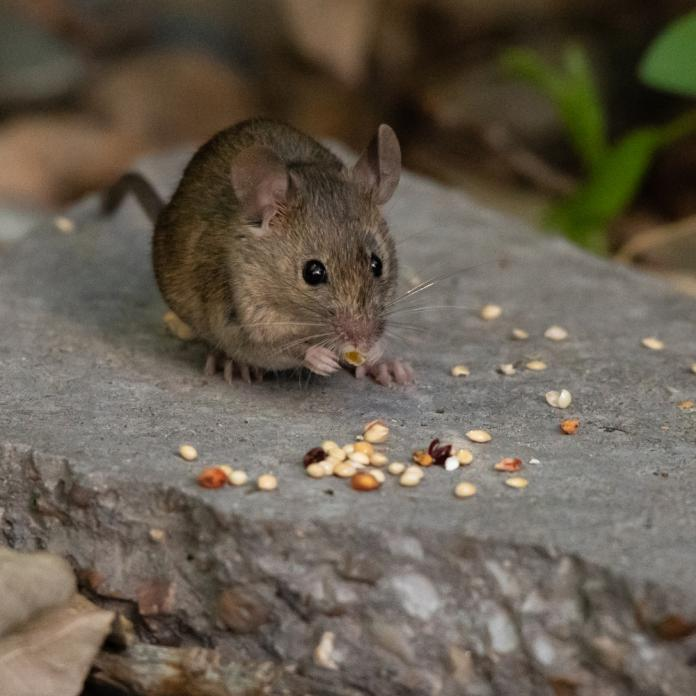 Hantavirus symptoms, causes, treatment and other details about the ...