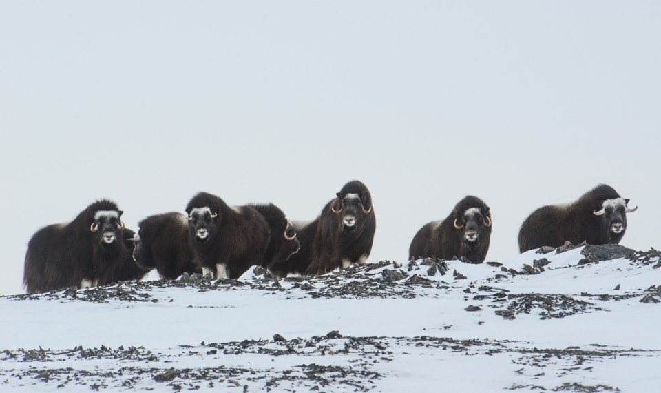 A heard of musk oxen in the endless white of Alaska