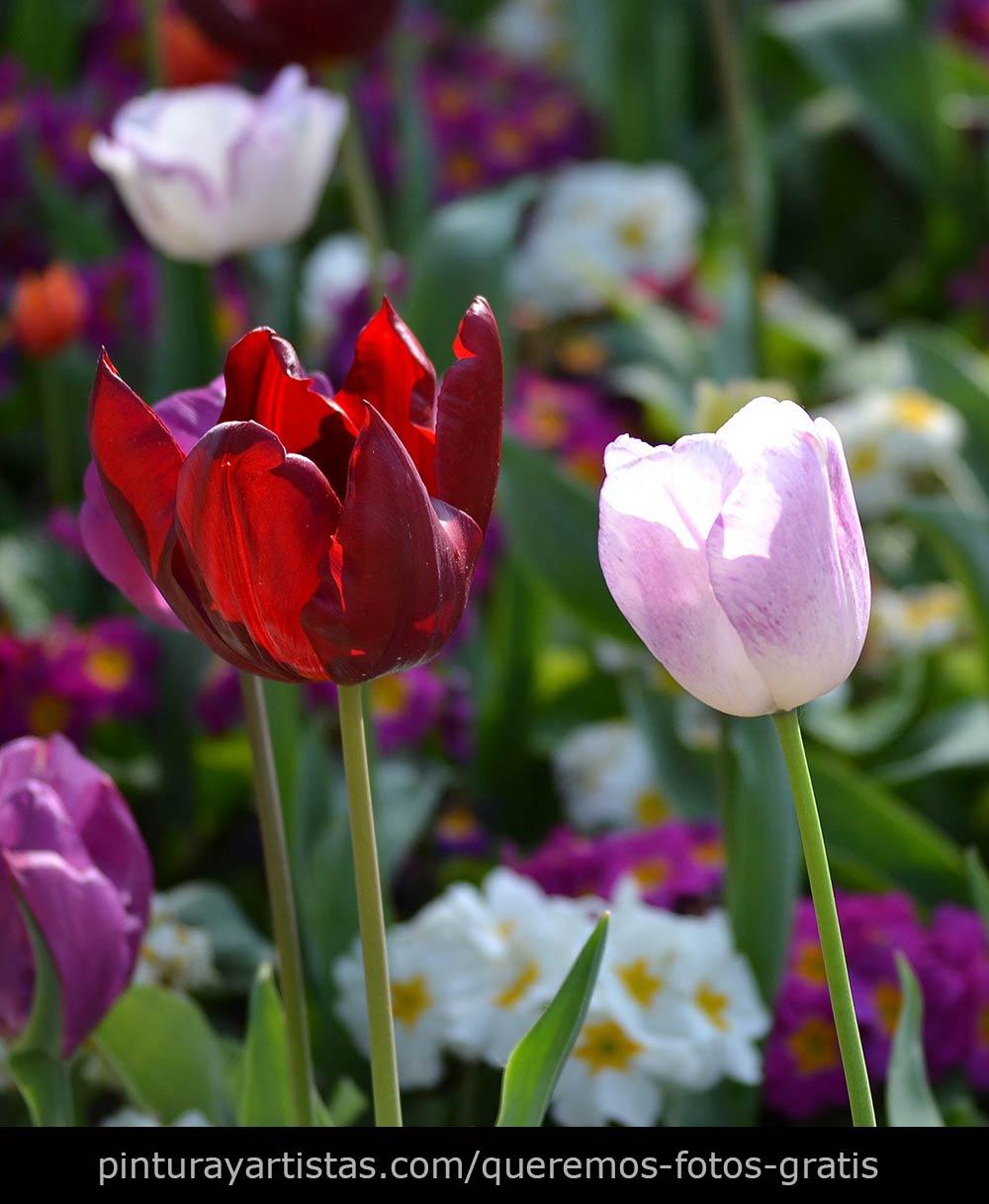 Fotos gratis  Tulipanes que dicen Te quiero  Pintura y
