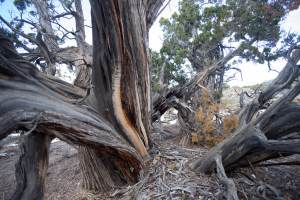 Healthy old growth Pinyon-Juniper Forest