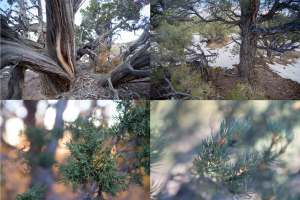 Pinyon-Juniper Forest montage old growth