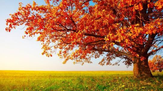 Na zdjęciu jesienne drzewo okryte czerwonymi liśćmi