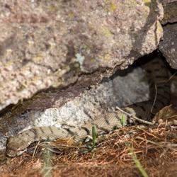 Aspisviper aus Trockenmauer