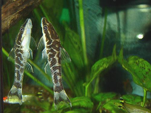 otocinclus cocama zebra otos