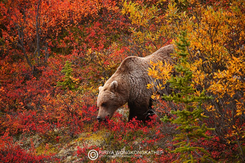 wild grizzly bear