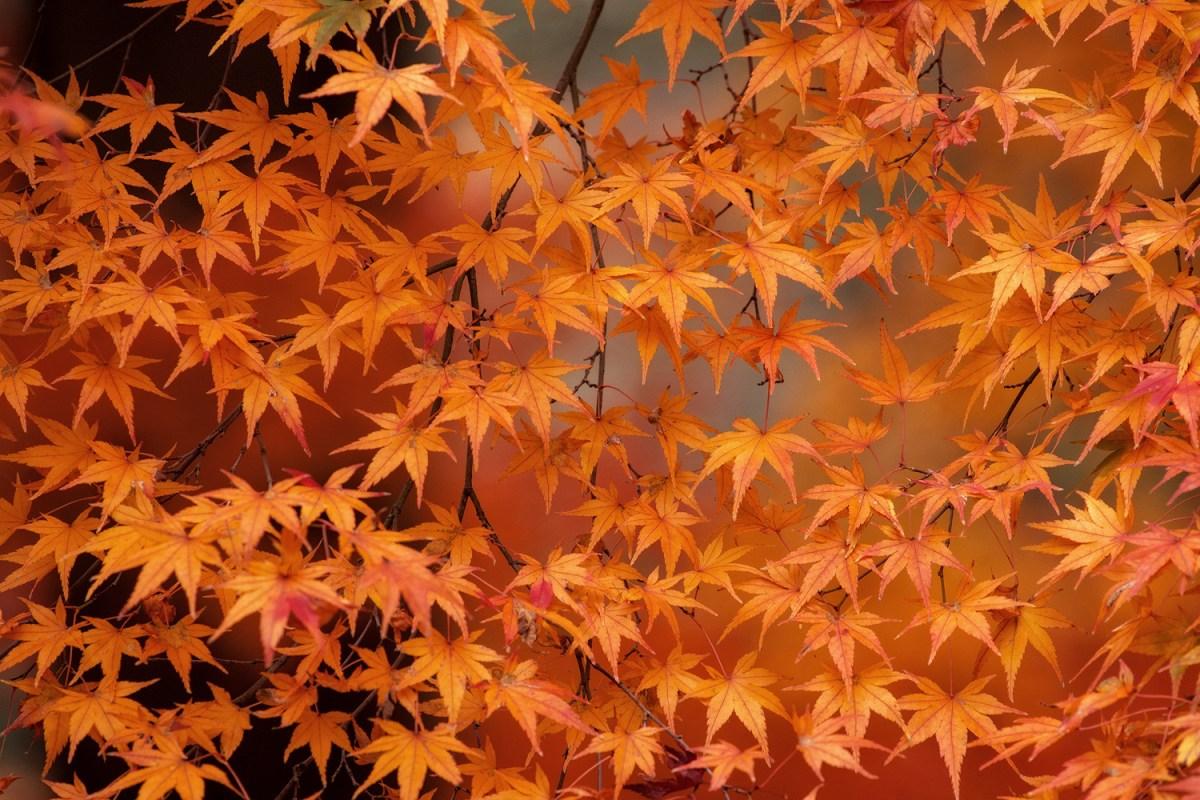 ใบไม้แดงที่ Kyoto