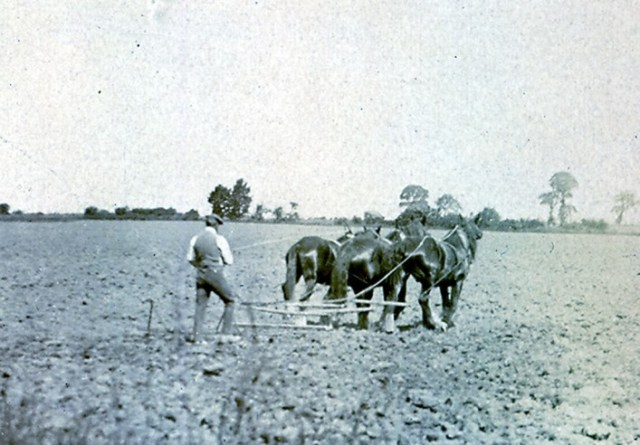 """1920s  John Gurney in Millway (Hambridge Way) with a drag harrow preparing the ground for planting. The whipple tree and way trees to which the horses were chained can be seen clearly. Land in Pirton was called """"two horse plough,"""" as two horses were needed to plough one acre in a day. Laurie Franklin was the last farmer to plough with horses in Pirton; Derek Cook remembers the last horse ploughing in 1946 at Recklin's Piece, the field adjacent to Wood Lane."""