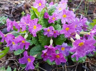 Pierwiosnek lub prymula kwiaty zwiastujące wiosnę fioletowy