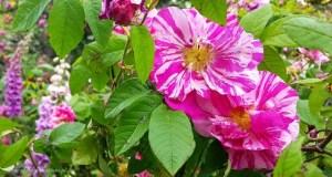 róże i naparstnice w ogrodzie
