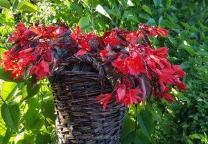 Begonia Summerwings