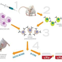 Use Animal Research Diagram 1980 Toyota Pickup Headlight Wiring Non Affinity Reagents Can Improve Scientific And Ascites In Vitro Antibody Production Share The Same Initial Development Steps Which Involve Of Animals As Indicated Figure Below
