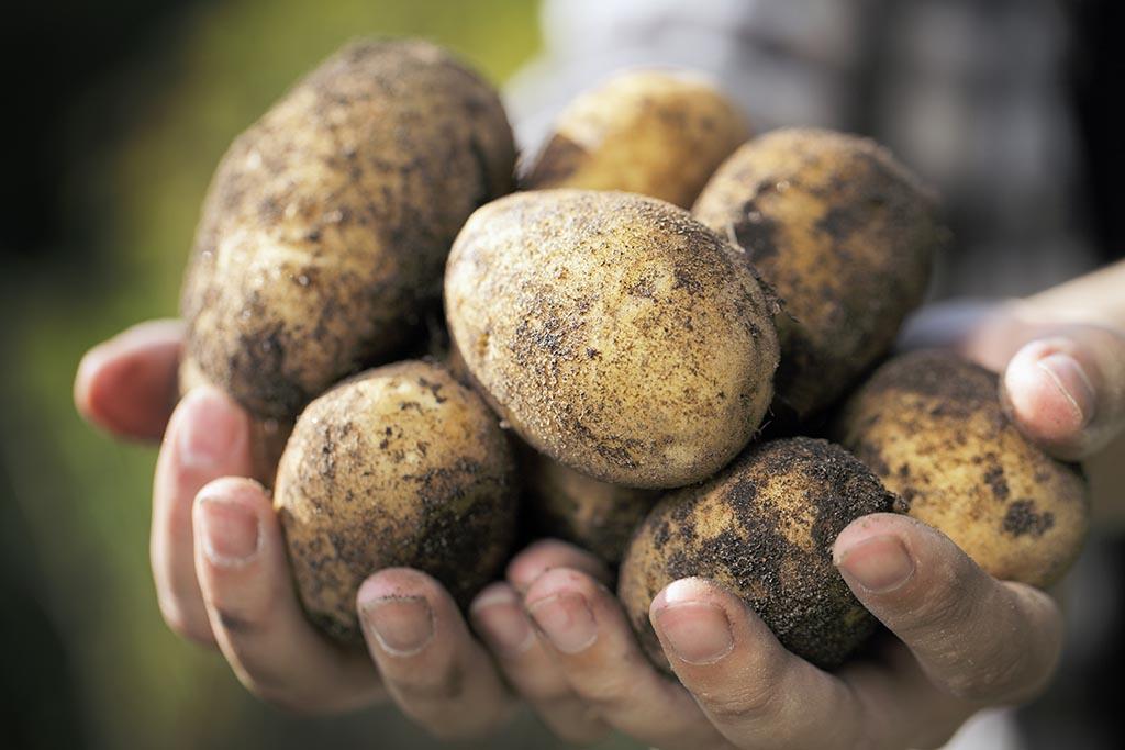 Is Potato a Fruit or Vegetable?   Pitara Kids Network