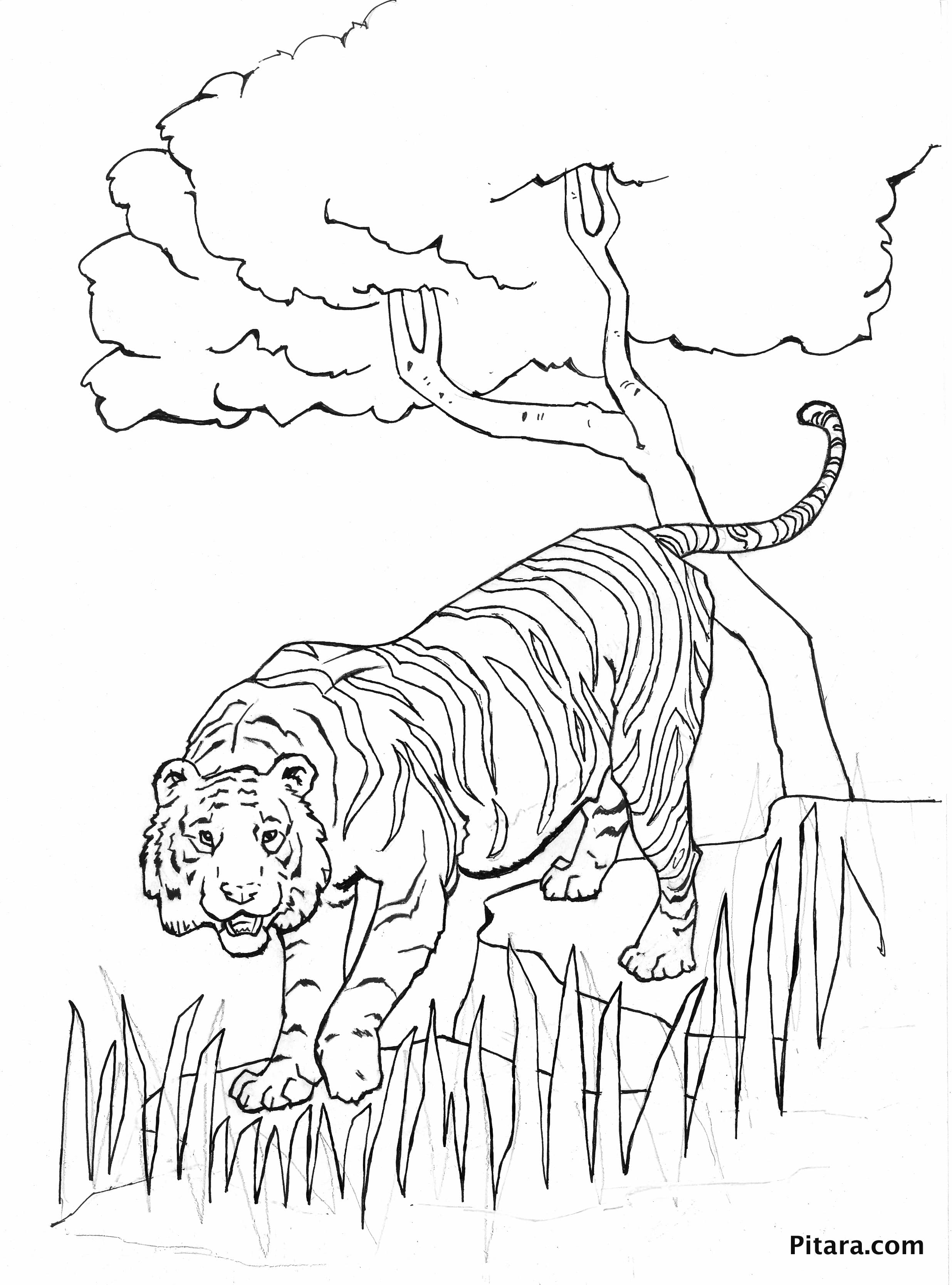 Tiger – Coloring page
