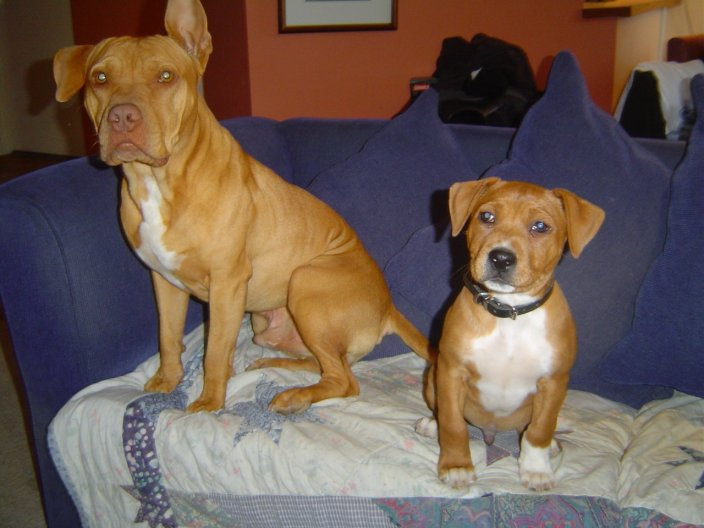 Red Pitbull Kennels Texas