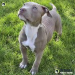Pitbull Puppies For Sale American Pitbull Terrier Breeding Centre Pitbull Forest House