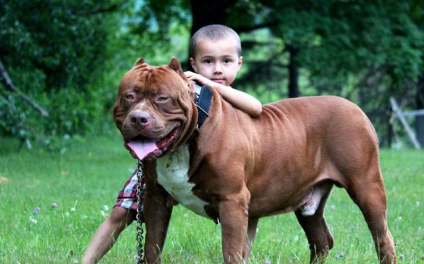 Pitbull Dog Pics | Wallpaper sportstle
