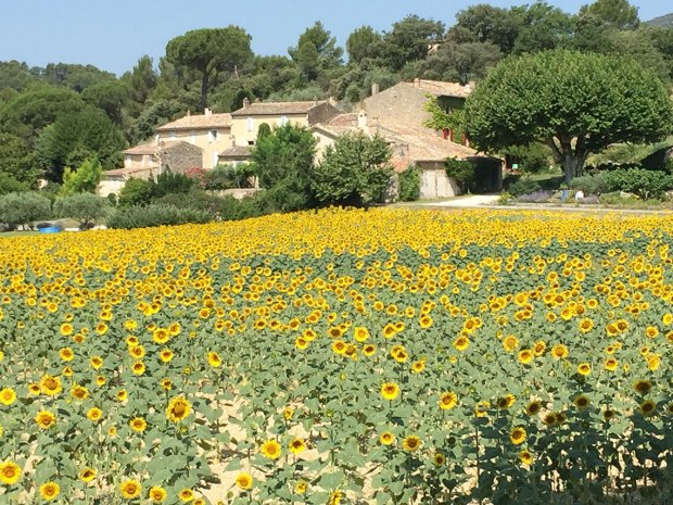 sunflowers in Lourmarin