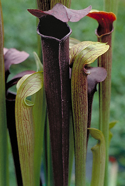 Sarracenia alata pitcher plant