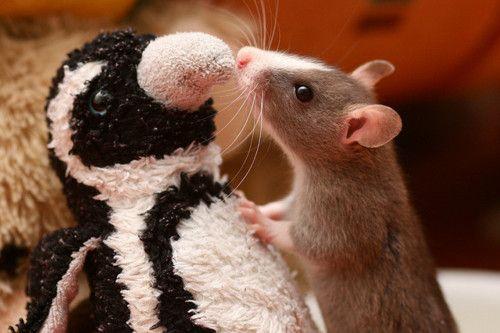 A Rat in Penguinville?