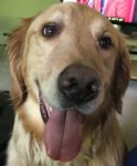 About Remy, the Eldest Son (A Golden Retriever)