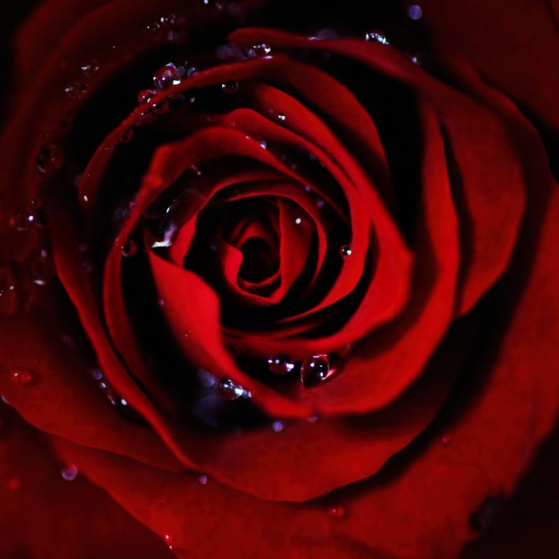 red rose wallpaper hd for pc imagewallpapers co