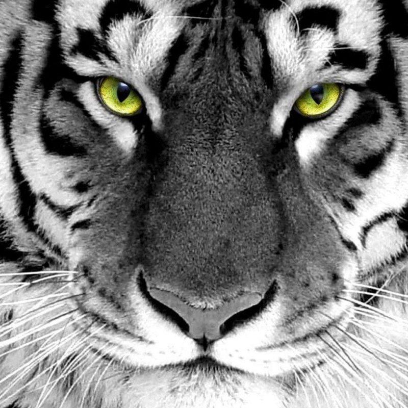 10 top white tiger