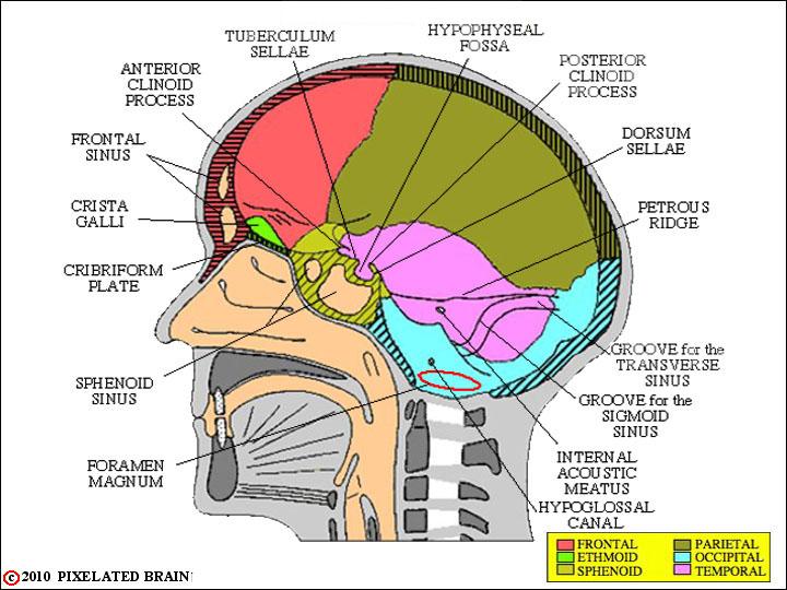Cranial Sinuses Diagram