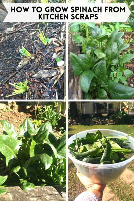 how to grow spinach at home growing vegetables from scraps
