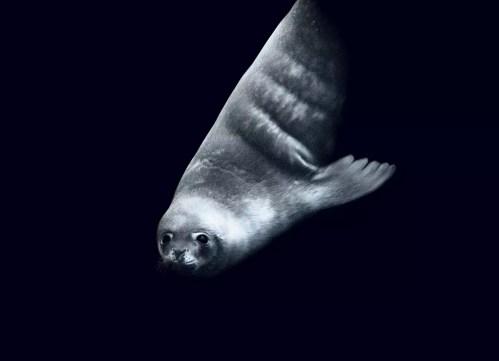 Weddellrobbe © John Weller