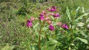 Was tun gegen drüsiges Springkraut im eigenen Garten?