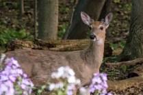 Deer Watch