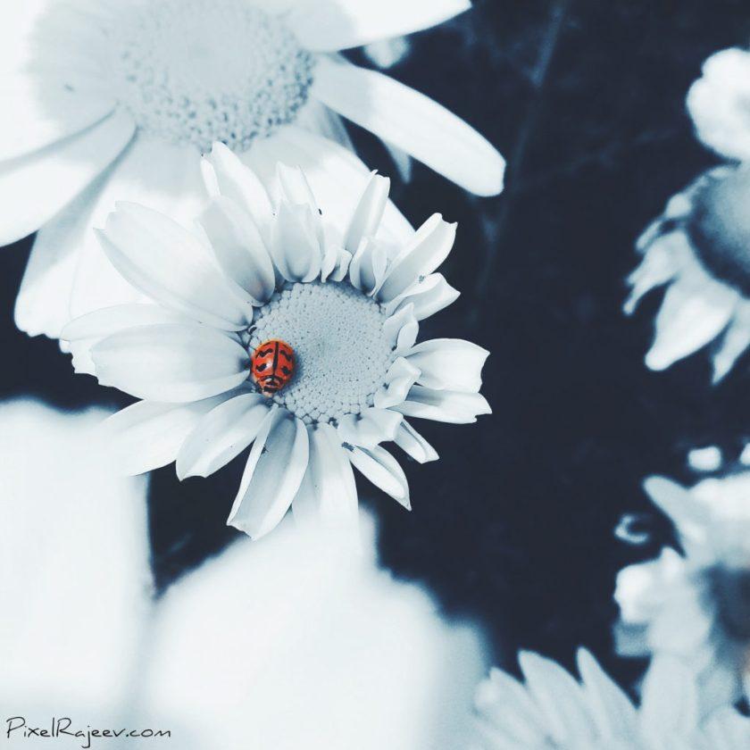 ladybug, pixelrajeev, mi a1