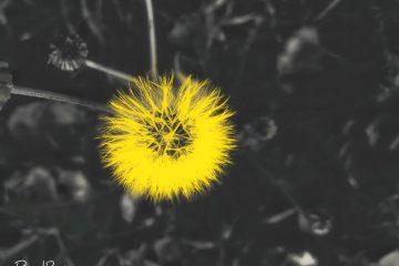 yellow flower, pixelrajeev