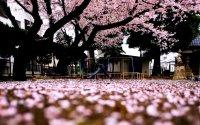Spring in Japan Wallpapers HD free download | PixelsTalk.Net