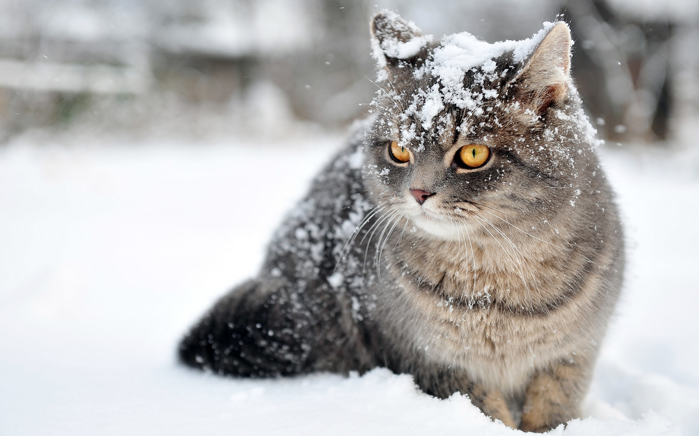 Cute Thanksgiving Wallpaper Cat Cat Backgrounds Desktop Pixelstalk Net