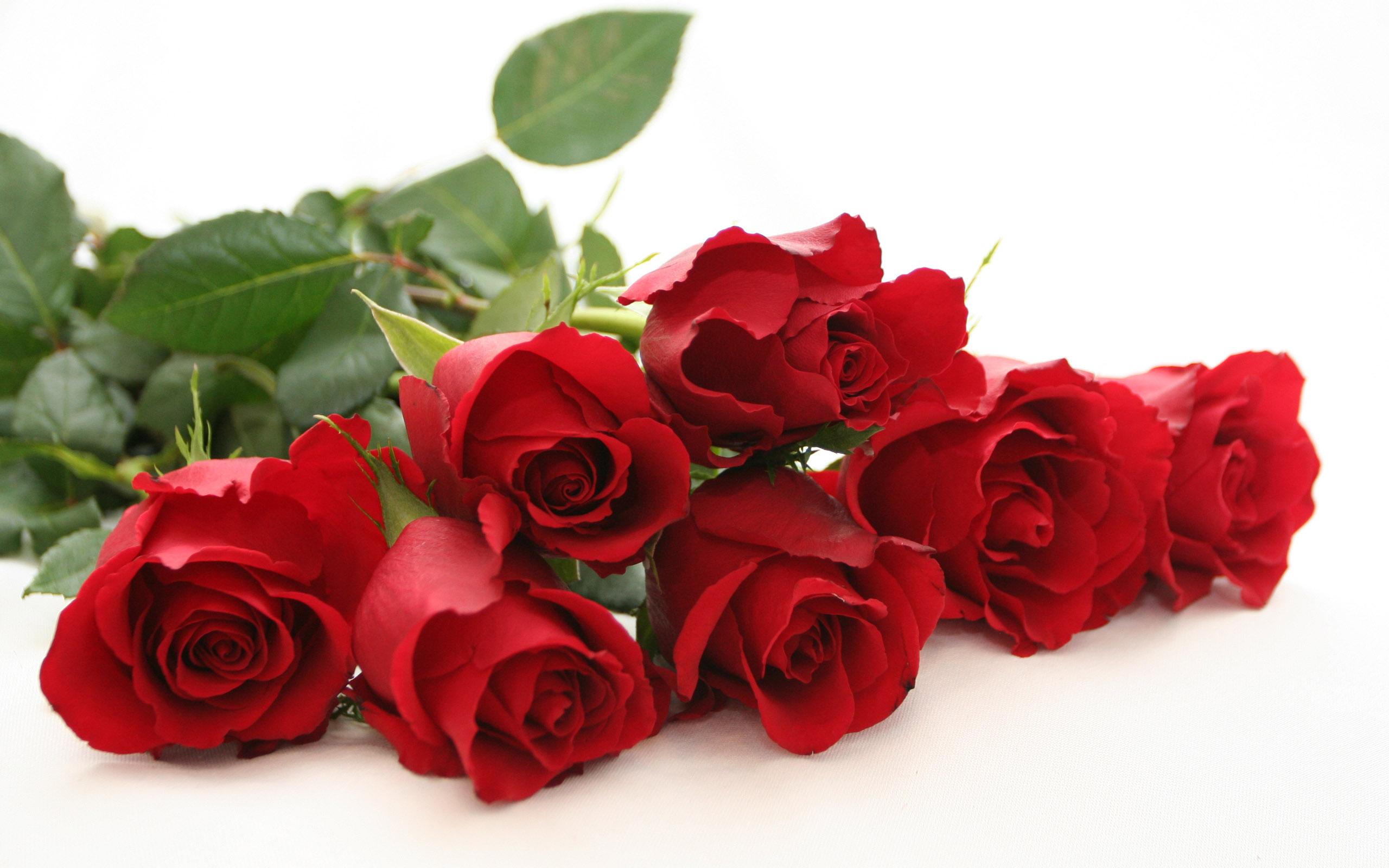 rose flower wallpaper hd