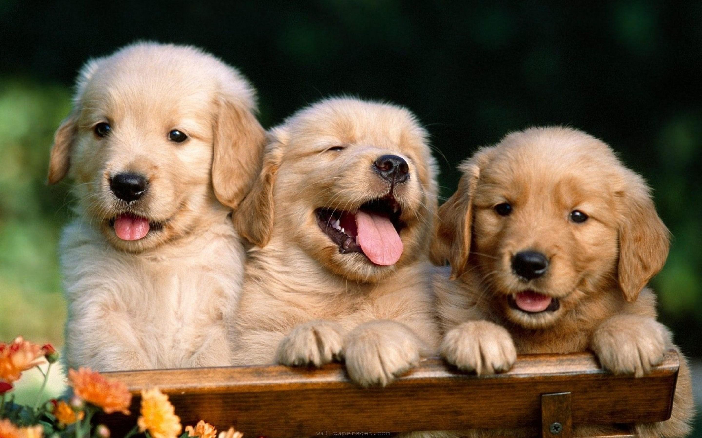 Desktop Wallpaper Of Cute Puppies Dog Backgrounds Free Download Pixelstalk Net