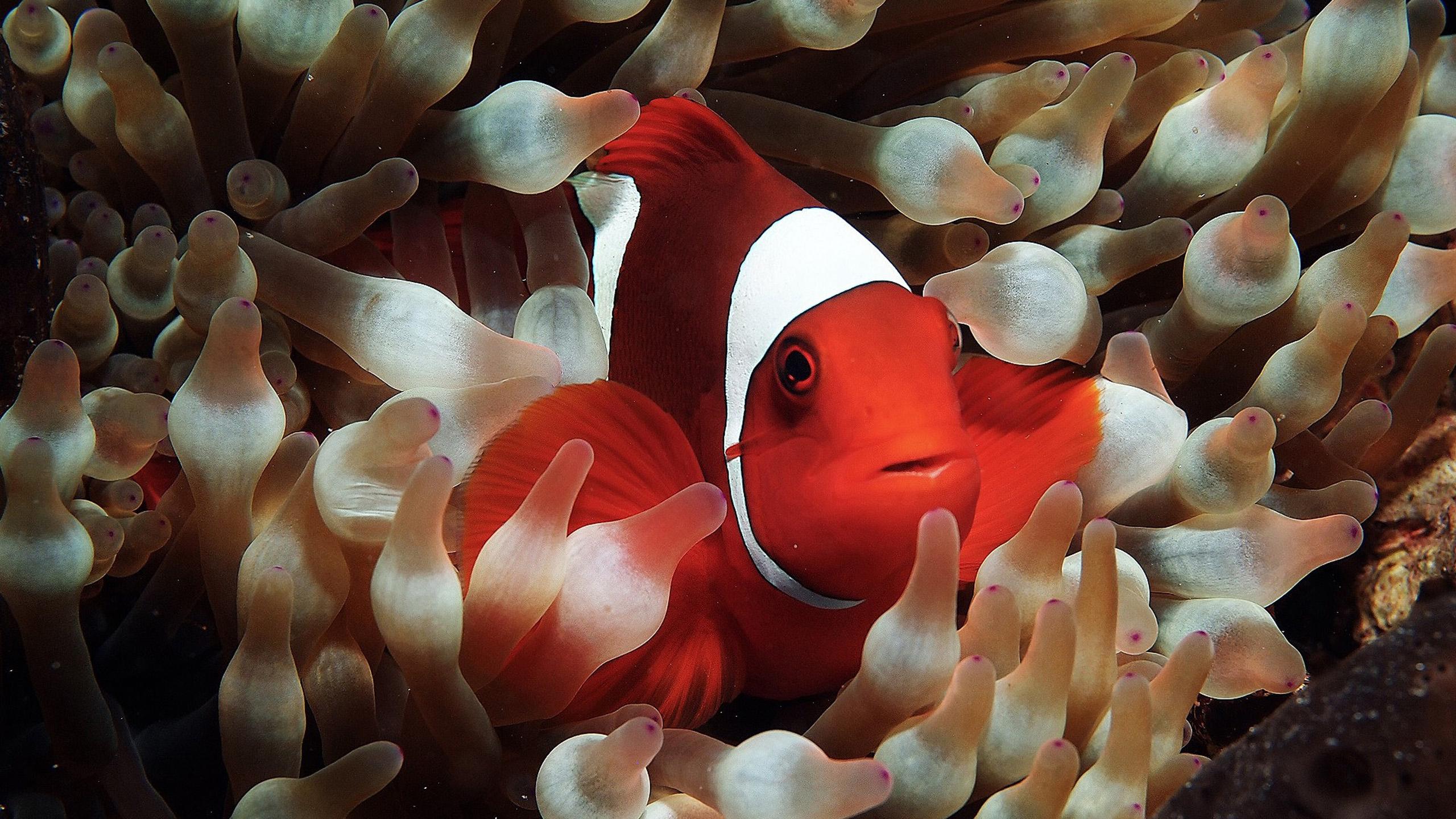 Aquarium Wallpapers 3d Free Download Clown Fish Wallpapers Pixelstalk Net