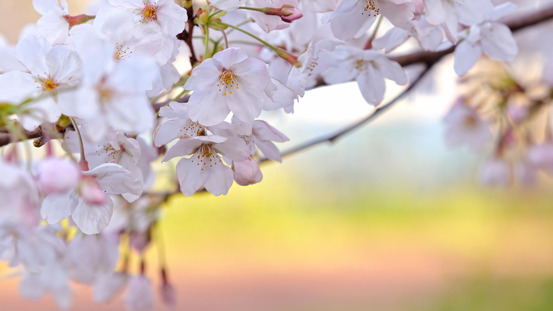 Fall Flower Computer Wallpaper Cherry Blossom Backgrounds Pixelstalk Net