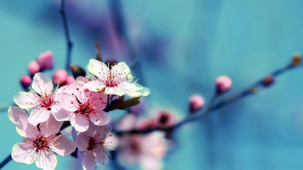 Flowers Cherry Blossom Wallpapers