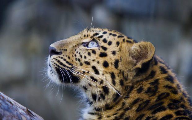 Iphone X Reddit Wallpaper Leopard Backgrounds Pixelstalk Net