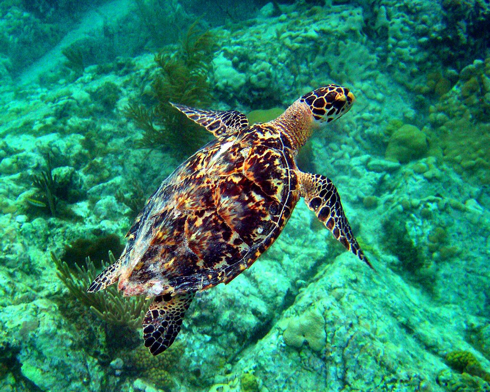 Cute Sea Turtle Wallpaper Turtle Hd Backgrounds Pixelstalk Net
