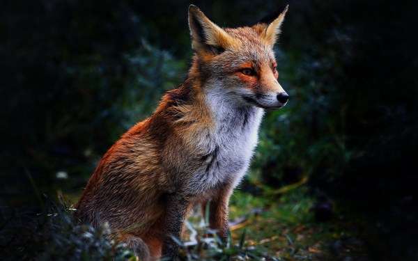 Free Fox Backgrounds