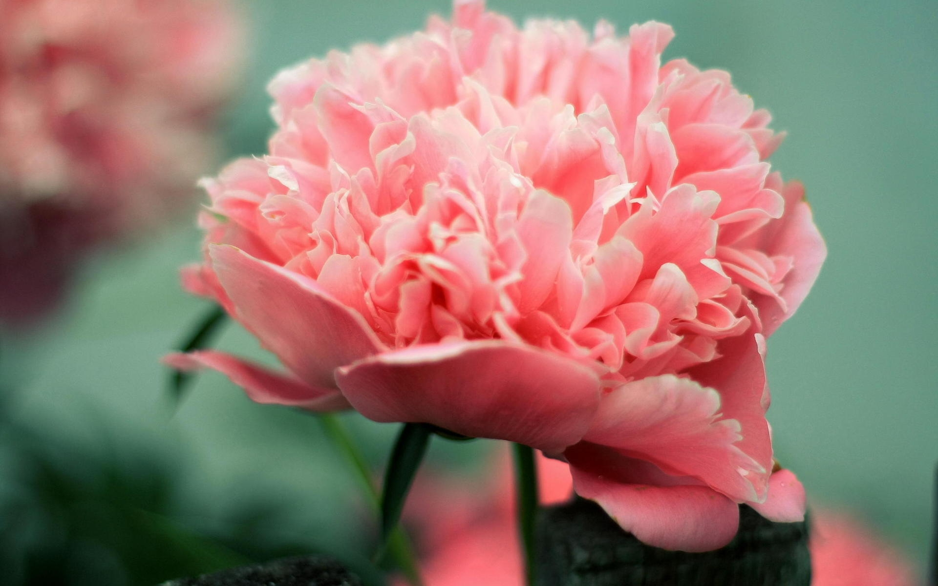 Pretty Wallpapers Rose Quotes Hd Peony Backgrounds Pixelstalk Net