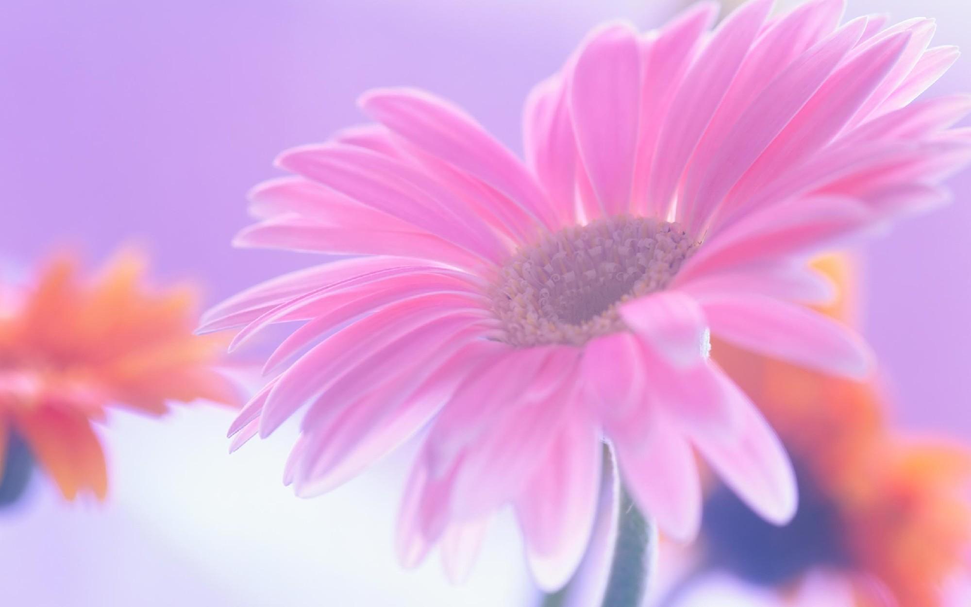 Cherry Blossom Wallpaper Hd Daisy Wallpapers Hd Pixelstalk Net
