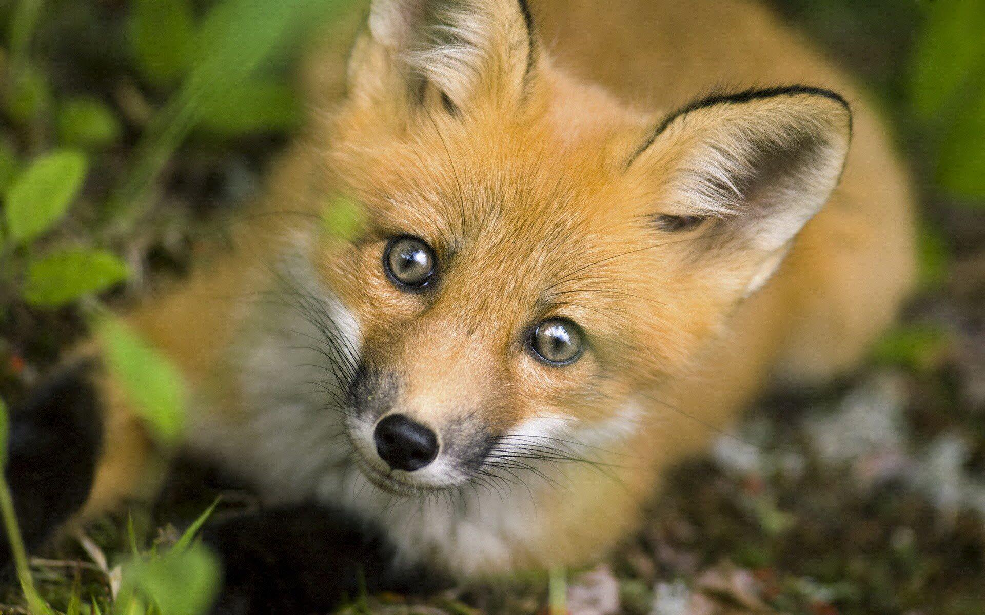 Cute Baby Animal Wallpapers Desktop Fox Wallpapers For Desktop Pixelstalk Net