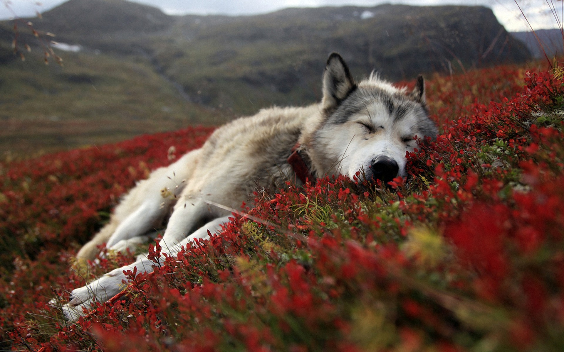 Whatsapp 3d Wallpaper Download Download Free Siberian Husky Wallpapers Pixelstalk Net