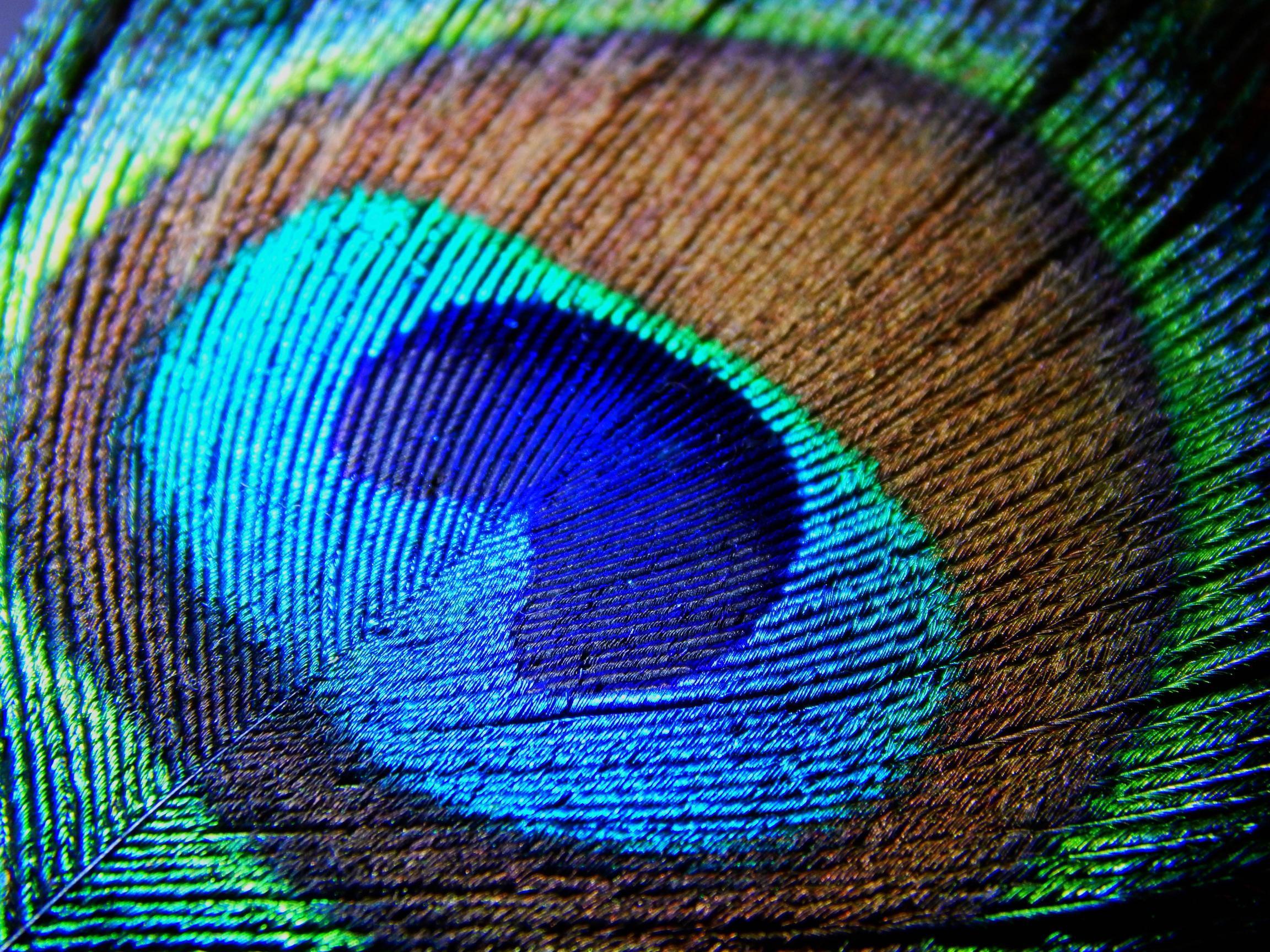 Hd Peacock Feathers Wallpapers Pixelstalk Net
